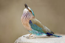 Close-up of an Indian roller (Coracias benghalensis) von Panoramic Images