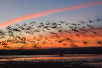 Silhouetted Snow Geese In Flight by Panoramic Images