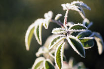 Frost On Plant Leaves von Panoramic Images