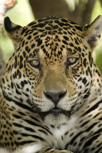 Close-up of a Jaguar (Panthera onca) by Panoramic Images