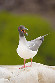 Close-up of a Swallow Tailed gull (Creagrus furcatus) by Panoramic Images