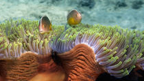 Two Skunk Anemone fish and Indian Bulb Anemone by Panoramic Images
