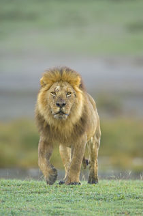 Portrait of a Lion walking in a field von Panoramic Images