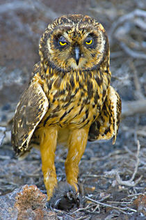 Close-up of a Short-Eared owl (Asio flammeus) with a Storm petrel in its claws von Panoramic Images