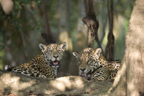 'Jaguars (Panthera onca) resting in a forest' von Panoramic Images