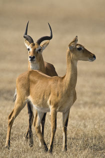 Pair of Ugandan kobs (Kobus kob thomasi) mating behavior sequence by Panoramic Images