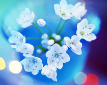 Close up of white flowers with out of focus blue background von Panoramic Images