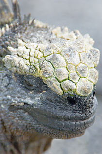 Close-up of a Marine Iguana (Amblyrhynchus cristatus) by Panoramic Images