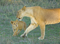 Side profile of a lioness walking with its cub von Panoramic Images