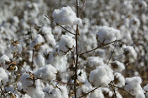 Close-up of cotton plants in a field, Wellington, Texas, USA by Panoramic Images