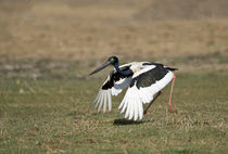 Black-Necked stork (Ephippiorhynchus asiaticus) taking off von Panoramic Images