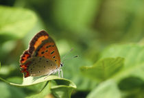 Butterfly perching on a leaf von Panoramic Images