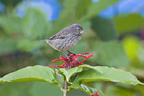 Close-up of a Small Ground-finch (Geospiza fuliginosa) perching on a plant by Panoramic Images