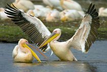 Two Great white pelicans wading in a lake by Panoramic Images