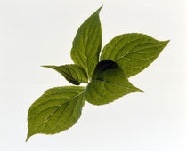 Close up of green leaves on light grey von Panoramic Images