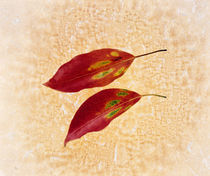 Two red leaves on pink background by Panoramic Images