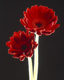 Close up of two deep red flowers with white stems on black background von Panoramic Images
