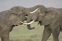 Two African elephants fighting in a field von Panoramic Images