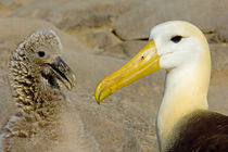 Close-up of a Waved albatross (Diomedea irrorata) with its young one von Panoramic Images