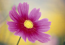 Close-up of a cosmos flower von Panoramic Images