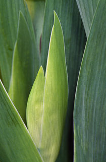 Iris flower (Iris germanica) bud and leaves, close up. von Panoramic Images
