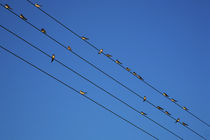 Swallows in Autumn prior to Migration, Fethard, County Tipperary, Ireland by Panoramic Images