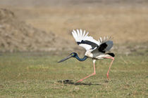Black-Necked stork (Ephippiorhynchus asiaticus) taking off by Panoramic Images