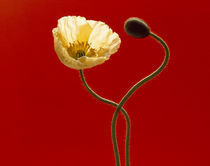 Close up cream poppy and seed pod on red background by Panoramic Images
