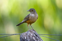 Close-up of a Rufous-Bellied thrush (Turdus rufiventris) by Panoramic Images