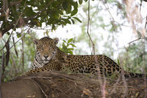 Jaguar (Panthera onca) resting on a tree trunk by Panoramic Images