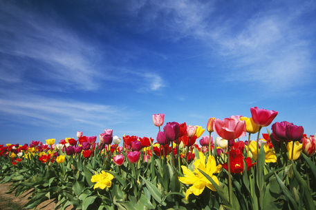 Field of blooming tulip flowers willamette valley for Oregon craft floral
