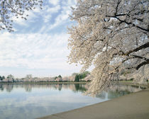 Cherry Blossom trees around the tidal basin, Washington DC, USA by Panoramic Images