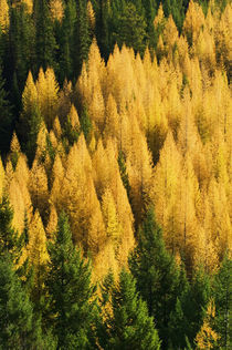 High angle view of autumn color larch trees in pine tree forest, Montana, USA. von Panoramic Images