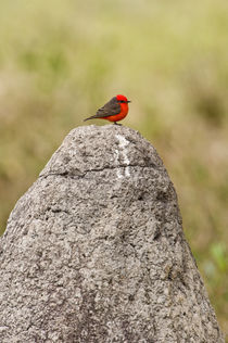 Vermilion flycatcher (Pyrocephalus rubinus) on a rock von Panoramic Images