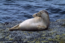 Seal lying on Bass Rock, Scotland. von Panoramic Images