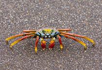 Close-up of a Sally Lightfoot crab (Grapsus grapsus), Galapagos Islands, Ecuador by Panoramic Images