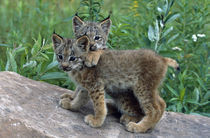 Pair of lynx kittens playing on rock, Minnesota, USA. von Panoramic Images