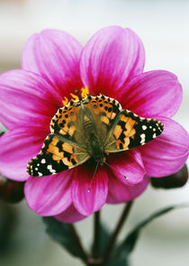Painted Lady Butterfly On Dahlia Flower Blossom von Panoramic Images