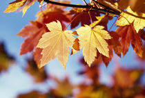 Autumn Color Vine Maple Tree Leaves by Panoramic Images