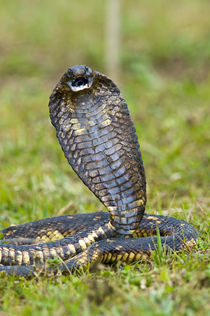 Close-up of an Egyptian cobra (Heloderma horridum) rearing up von Panoramic Images