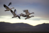 Snow Geese In Flight by Panoramic Images