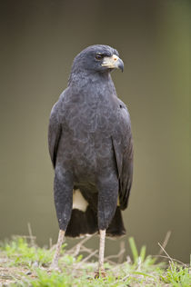 Close-up of a Great Black hawk (Buteogallus urubitinga) by Panoramic Images