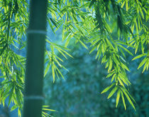 Bamboo tree in a forest, Saga Prefecture, Japan by Panoramic Images