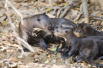 Giant otter (Pteronura brasiliensis) with its cubs by Panoramic Images