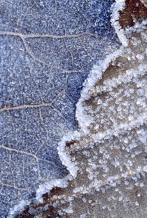 Frozen Leaf von Panoramic Images