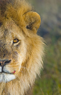 Close-up of a lion von Panoramic Images