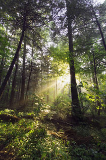 Sunbeams in dense forest, Great Smoky Mountains National Park, Tennessee, USA. by Panoramic Images