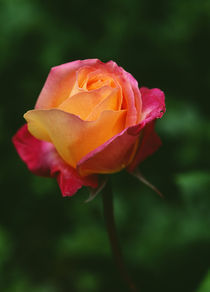 Single Rose Flower Blossom by Panoramic Images