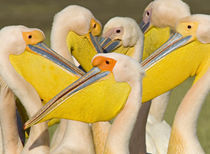 Flock of Great white pelicans, Lake Nakuru, Kenya (Pelecanus onocrotalus) by Panoramic Images
