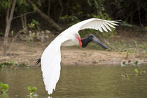 Jabiru stork (Jabiru mycteria) in flight von Panoramic Images